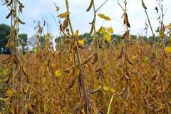 大豆成熟荚,精力充沛,在领域 免版税库存照片