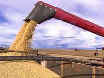 大豆收获和运输 图库摄影