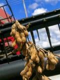 大豆收获 库存图片