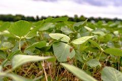 大豆植物关闭  库存照片