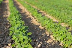 年轻大豆植物行领域大豆的在夏天调遣行 图库摄影
