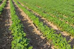 年轻大豆植物行领域大豆的在夏天调遣行 库存照片
