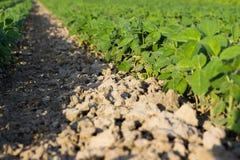 年轻大豆植物行领域大豆的在夏天调遣行 免版税库存图片