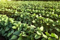 大豆植物行  免版税库存照片