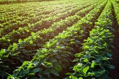 年轻大豆植物行  库存照片