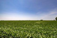 大豆的农田 免版税库存照片