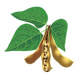 大豆种子荚和叶子 免版税库存照片
