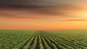 大豆草甸全景美好的日落的 免版税库存照片