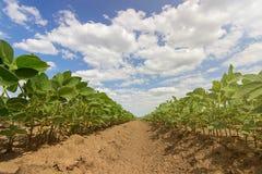 大豆调遣在夏季的行 年轻大豆行  免版税库存照片