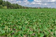 大豆领域在夏天 免版税库存照片