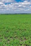 大豆领域在夏天 库存图片