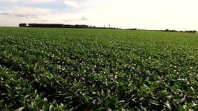 大豆领域种植园鸟瞰图 股票视频