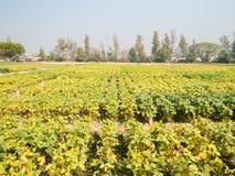 大豆领域,泰国 库存照片