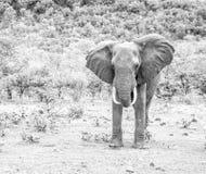 大象。 库存图片