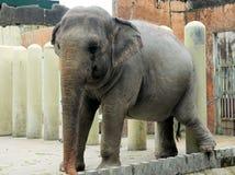大象。 库存照片