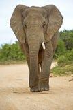 大象一象牙 免版税库存照片