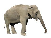 大象亚洲人 免版税库存图片
