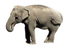 大象亚洲人 免版税图库摄影