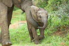 大象做父母 免版税库存图片