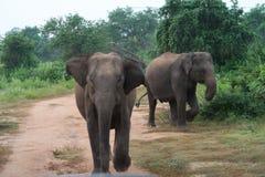 大象充电往一辆徒步旅行队汽车的在udawalawe国立公园,斯里兰卡 库存照片