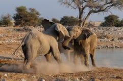 大象公牛是战斗 免版税图库摄影
