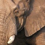 大象公牛的题头 库存图片