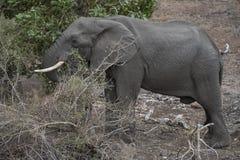 大象公牛繁忙吃 免版税库存图片