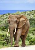 大象公牛 库存图片