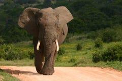 大象公牛 库存照片