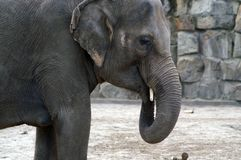 大象印地安人纵向 库存照片