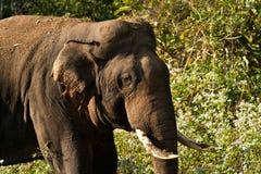 大象印地安人 免版税库存图片