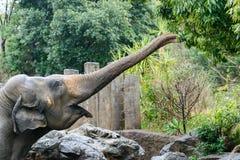 大象吃一片叶子 免版税图库摄影