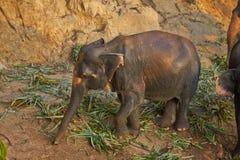 大象吃草在日落 印度象 免版税图库摄影