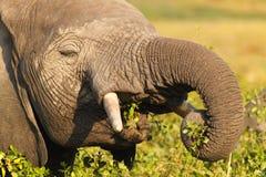 大象吃-徒步旅行队肯尼亚 免版税库存图片