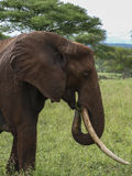大象吃1 库存照片