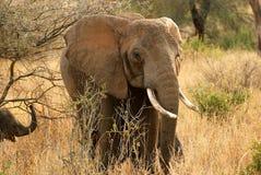 大象吃 免版税库存图片