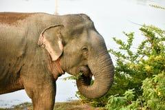 大象吃 免版税图库摄影