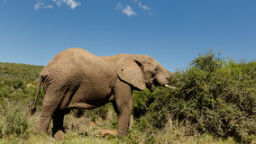 大象吃 免版税库存照片