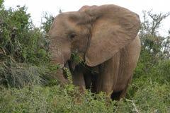 大象吃 库存图片