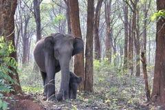 大象和小牛在森林里 库存照片