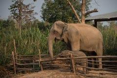 大象和小牛 库存照片