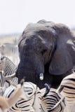大象和羚羊对斑马在waterhole, Etosha,纳米比亚 免版税库存图片