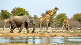 大象和长颈鹿浇灌 图库摄影