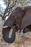 大象哺养 库存图片