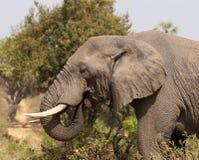 大象哺养 免版税库存照片