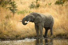 大象喝 免版税图库摄影