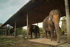大象在一个培训中心在泰国 库存照片