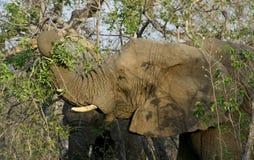 大象在一个徒步旅行队期间的` s特写镜头在大草原 库存照片