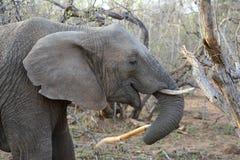 大象在一个徒步旅行队期间的` s特写镜头在大草原 免版税库存图片