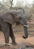 大象在一个徒步旅行队期间的` s特写镜头在大草原 免版税库存照片